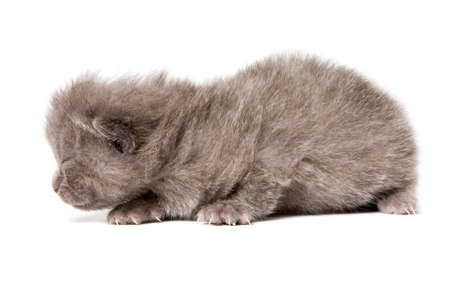 british blue shothair kitten isolated over white background Stock Photo - 12853444