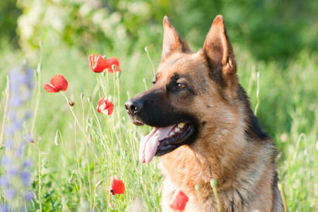 german shepard: german sheepdog portrait over nature background Stock Photo