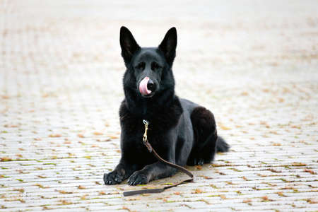 wet black German sheepdog laying on the road background Stock Photo - 13146429