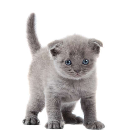 british blue shothair kitten isolated over white background Stock Photo - 13146399