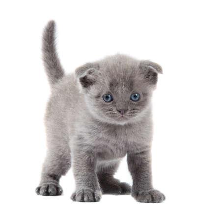 british blue shothair kitten isolated over white background Stock Photo - 13146399