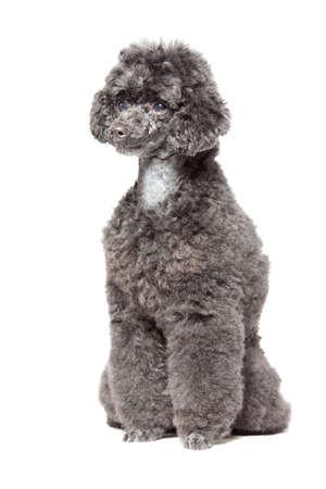 black toy poodle isolated over white background photo