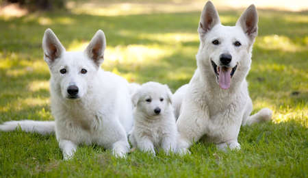 White Swiss Shepherds laying on green grass photo