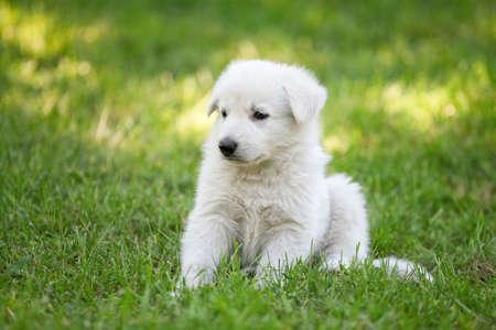 White Swiss Shepherd s puppy sitting on grass photo
