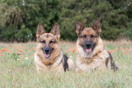 German Shepherds laying on the green grass Stock Photo - 14293643