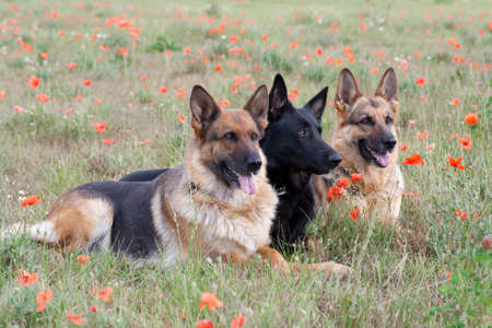 German Shepherds laying on the green grass photo