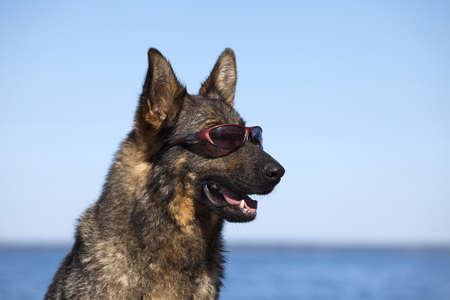 Head of the German shepherd with solar glasses photo