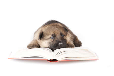 little puppy in glasses reading the book photo
