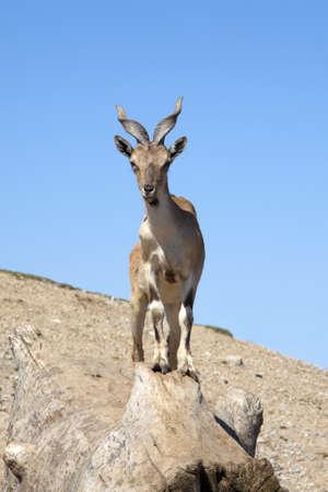 ibex ram: Tadjik Markhor Stock Photo
