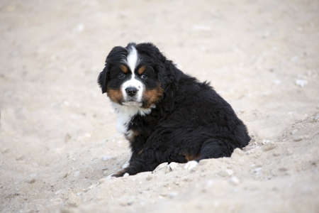 sennenhund: Berner Sennenhund cucciolo seduto sulla sabbia