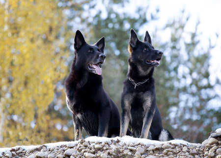 two black German sheepdogs sitting on the stones photo