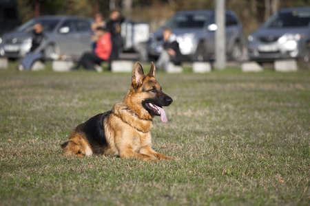 German shepherd on the dog s playground photo