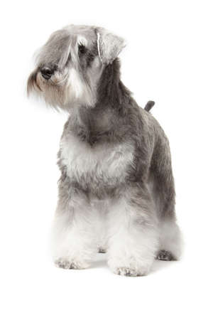 miniature schnauzer pepper   salt isolated over white background Stock Photo
