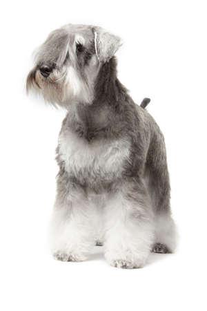miniature breed: schnauzer miniatura sal pimienta aislado sobre fondo blanco