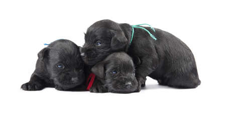 schutz: black puppys of Miniature Schnauzer isolatad over white background