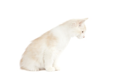 Kurilian Bobtail kitten isolated over white background Stock Photo - 16209072