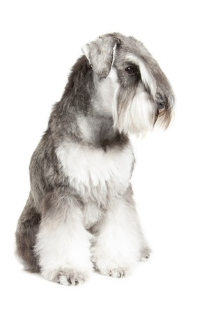 miniature schnauzer pepper   salt isolated over white background photo