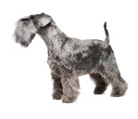 miniature dog: Miniature Schnauzer black isolatad over white background