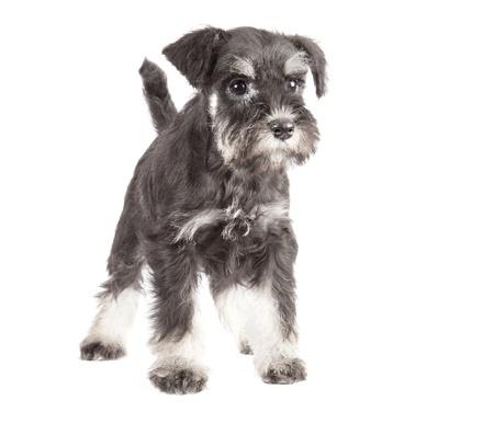 miniature breed: Zwergschnauzer isolatad negro sobre fondo blanco Foto de archivo