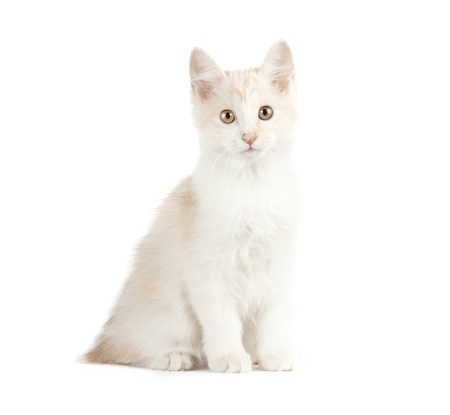 Kurilian Bobtail kitten isolated over white background Stock Photo - 16209087