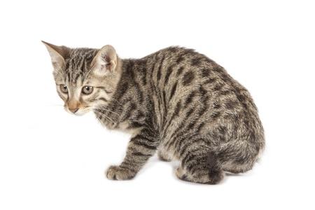 Kurilian Bobtail kitten isolated over white background Stock Photo - 16308967