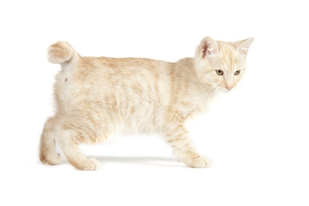 Kurilian Bobtail kitten isolated over white background Stock Photo - 16308920