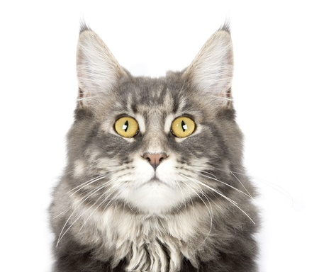 young Maine Coon cat isolated over white background photo