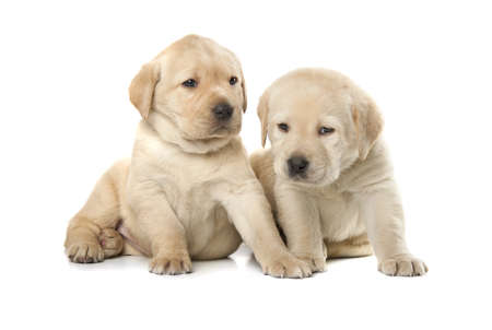 retrieve: two cute little Labrador Retriever puppies isolated over white background Stock Photo