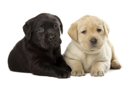 black labrador: two cute little Labrador Retriever puppies isolated over white background Stock Photo