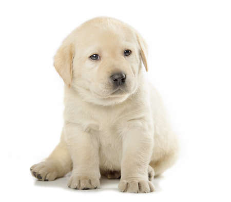 vigilant: cute little Labrador Retriever puppy isolated over white background