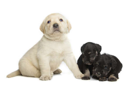 Labrador Retriever and Miniature Schnauzer black puppies isolated over white background photo