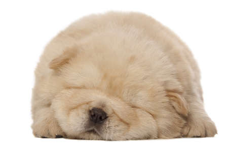 sleeping chow-chow puppy isolated over white background photo