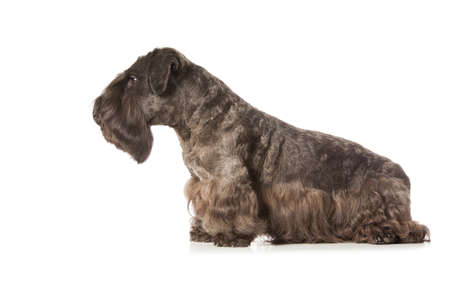 schutz: Miniature Black Schnauzer isolatad over white background