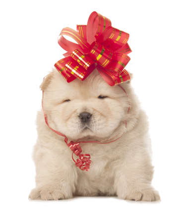 chow-chow puppy with big red bow isolated over white background photo