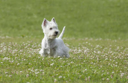 West Highland White Terrier puppy over nature background