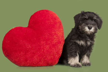 schutz: black Zwergschnauzer puppy and red heart isolatad over green background Stock Photo
