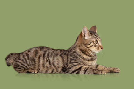 kurilian bobtail: Kurilian Bobtail kitten isolated over green background Stock Photo