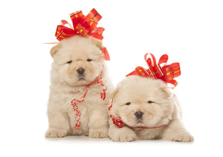 chow-chow puppies with big red bows isolated over white background photo