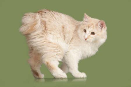 Kurilian Bobtail kitten isolated over green background photo