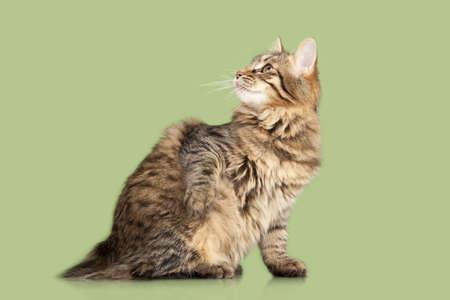 bobtail: Kurilian Bobtail kitten isolated over green background Stock Photo