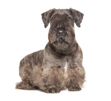Cesky Terrier black dog isolatad over white background Stock Photo