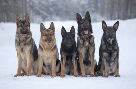 five german sheepdogs sitting on the snow