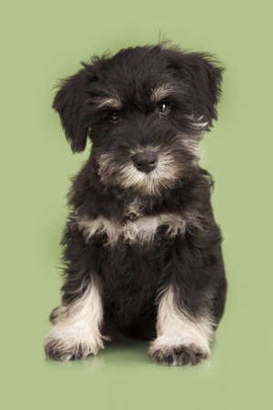 schutz: Zwergschnauzer black isolated over green background