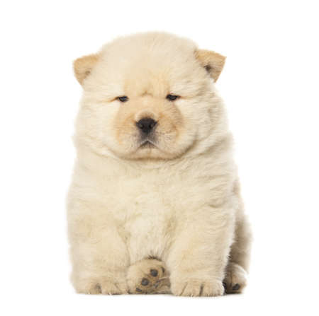 fluffy chow-chow puppy isolated over white background photo