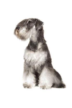Miniature Schnauzer pepper   salt isolatad over white background photo