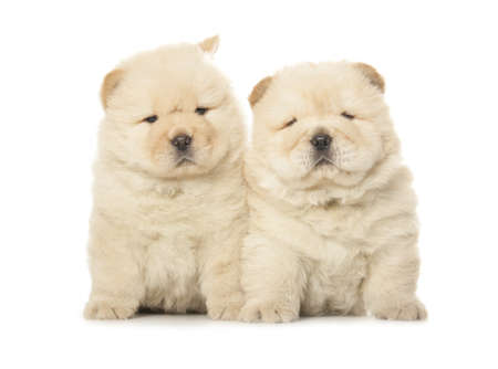 two cute chow-chow puppies isolated over white background Stock Photo