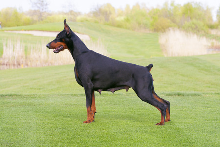 black doberman dog is standing in profile on the green grass