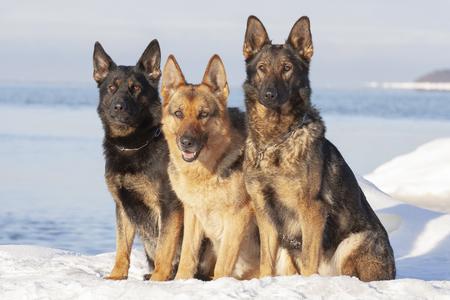 three German Shepherds sitting on the snow Standard-Bild - 112005150
