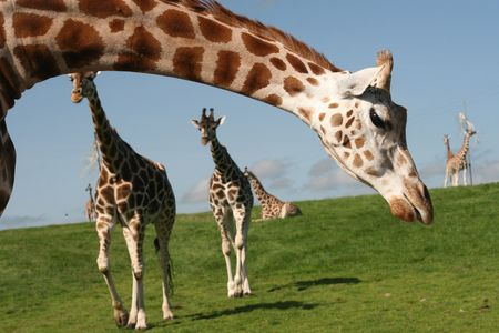giraffes Stock Photo - 3531062