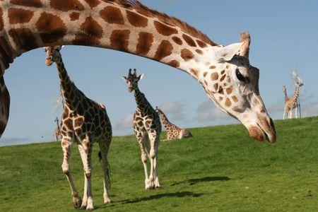 giraffes Stock Photo - 3531062